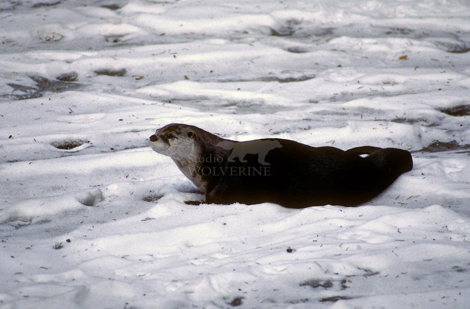 Amerikaanse otter (Lutra canadensis) in de sneeuw.