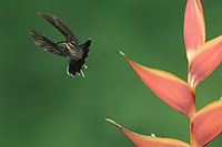 Green Hermit, Phaethornis guy, female in flight on Heliconia flower, Central Valley, Costa Rica, Central America