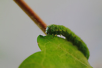 A green caterpillar which is eating a green leaf. The focus is on the head. Digitally Improved Photo.