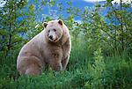 Kermode bear, or white phase of black bear, British Columbia, Canada