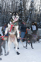 "Sunday February 27, 2010   ""Jaxon"" one of Tobin Sworts team dogs jumps in anticipation of getting to the start line at the Junior Iditarod start  Willow , Alaska"