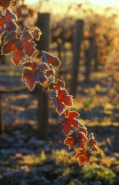 Frost lines grape leaves at sunrise
