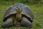Galápagos tortoise, Galápagos Islands, Ecuador