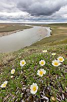 Mountain aven wildflowers along the cliff of the Etivluk river, Arctic, National Petroleum Reserve, Alaska.
