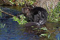 Beaver (Castor canadensis) in the water.  Spring.  Minnesota.
