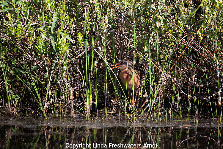 Virginia rail calling from the shadows
