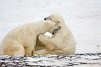 01874-11313 Polar Bears (Ursus maritimus) sparring, Churchill Wildlife Management Area MB