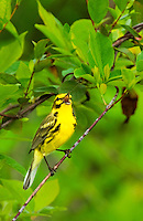 592260029 a wild male prairie warbler setophaga discolor - was dendroica discolor - sings or vocalizes to defend territory from a large-leafed bush in the angelina national forest jasper county texas