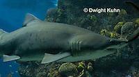 TP12-505z  Sand Tiger Shark, Carcharias taurus