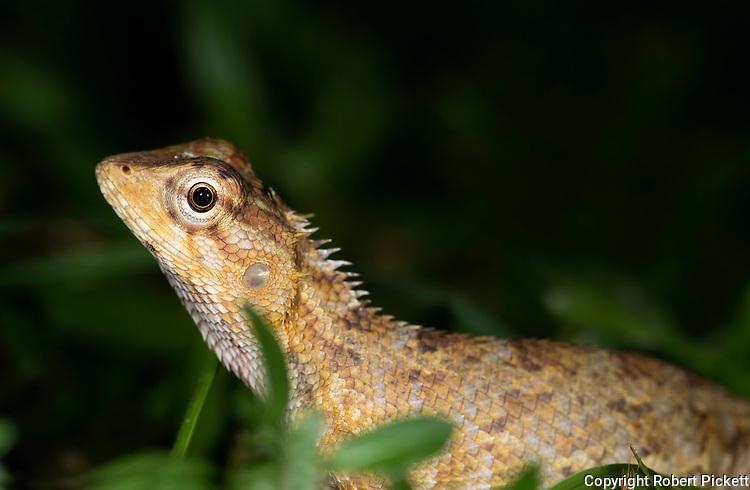Whistling Lizard, Calotes liolepis, Gal Oya National Park, Sri Lanka, on forest floor at night