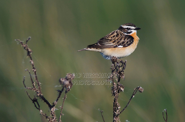 Whinchat,  Saxicola rubetra, male, National Park Lake Neusiedl, Burgenland, Austria, April 2007