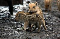 Wild zwijn (Sus scrofa)  biggen