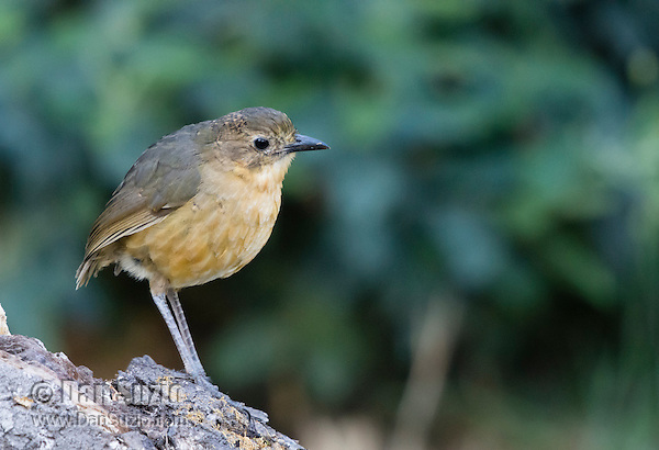 Tawny Antpitta, Grallaria quitensis, perched on a log near Quito, Ecuador