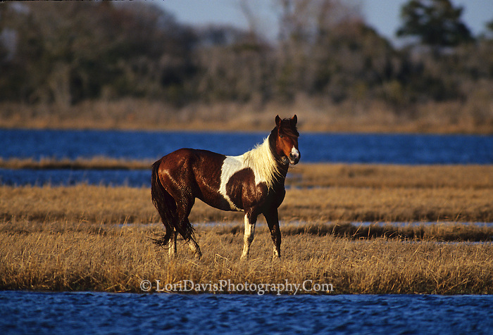Wild Assateague Stallion  #W16