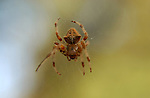 Orbweaver Spider, Cross orbweaver female, Descanso Gardens, Southern California