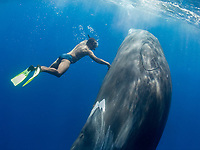 Andrew 'the Whale Whisperer', touching sperm whale, Physeter macrocephalus, Dominica, Caribbean Sea, Atlantic Ocean