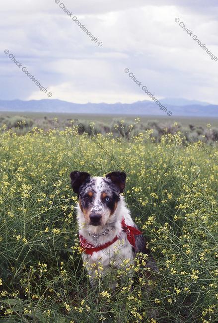 Photo of an Australian Shepherd, Blue Heeler Mix Dog sitting on the edge of a field.