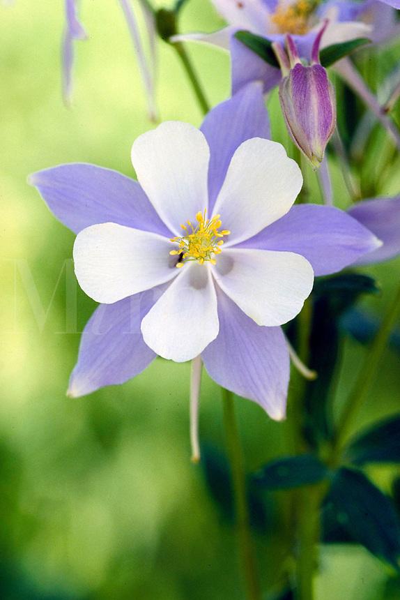 Blue Columbine, wildflower, blossom. Colorado USA Routt National Forest.