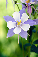 Blue Columbine, wildflower, blossom. Colorado USA Routt National Forest.