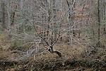 Bare winter tree, Eno River State Park, North Carolina