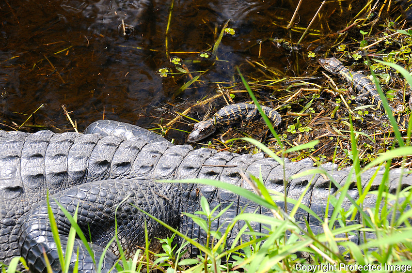 I cautiously approached the canal allowing Mama Alligator to see me, and also cautiously backed away. Alligators can jump and run very quickly. Mama Alligator's bite is about 3000 PSI, and I did not wish to antagonize her! Photographed at Arthur Marshall Loxahatchee Preserve, Boynton Beach, Florida.
