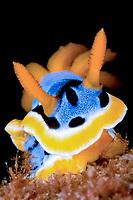 Nudibranch, Sea slug, Chromodoris annae, Bethlehem, Anilao, Batangas, Philippines