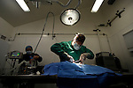 Sea Otter (Enhydra lutris) veterinarian Mike Murray performing surgery on rescued otter, Monterey Bay Aquarium, Monterey Bay, California