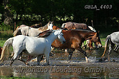 Bob, ANIMALS, REALISTISCHE TIERE, ANIMALES REALISTICOS, horses, photos+++++,GBLA4403,#a#, EVERYDAY