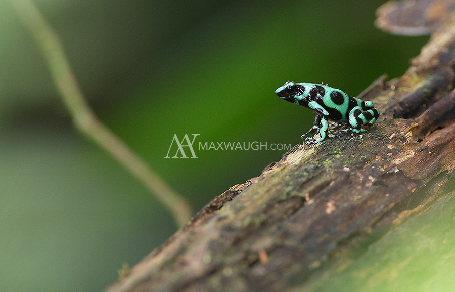 You can tell this frog was found on the Caribbean slope of Costa Rica due to the greater abundance of green in its markings.