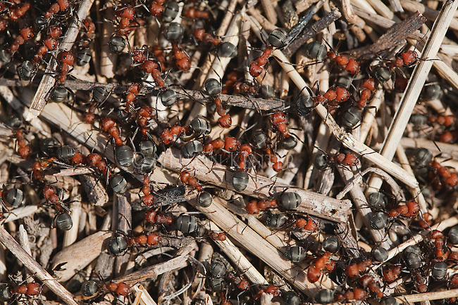 Army of ants on an ant hill