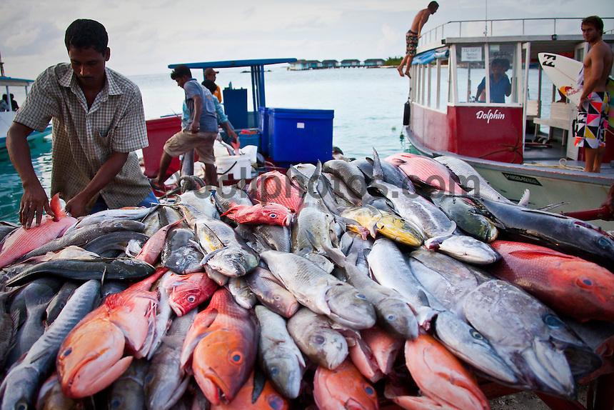A big catch of fish in the Maldives (Saturday, June 13th, 2009). Photo: joliphotos.com