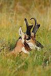 Bedded Pronghorn Antelope Buck