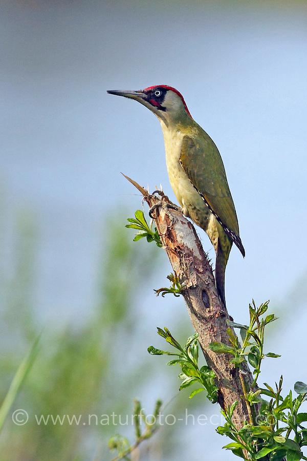 Grünspecht, Männchen, Grün-Specht, Specht, Spechte, Picus viridis, green woodpecker, male