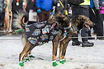 Two sled dogs awaiting their moment to start racing at the ceremenial start of the 43rd Annual Iditarod in Anchorage, Alaska. The 1000 mile dog sled race usually restarts in Willow, Alaska, and finishes in Nome. Poor snowfall, however, forced the restart north to Fairbanks.