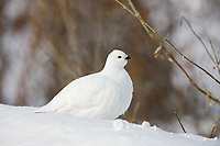 Willow ptarmigan in winter phase, Brooks Range, Arctic, Alaska.