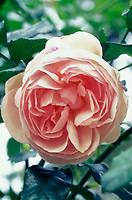 Rosa 'Heritage' Shrub Roses, pink salmon