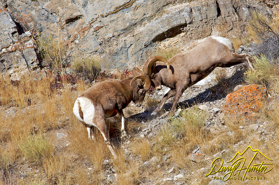 Fighting Bighorn sheep rams during the December rut in Jackson Hole, Wyoming