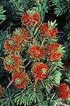 8086-CE Dwarf Bottlebrush, Callistemon citrinus `Little John', flowers, foliage, at Azusa, CA USA