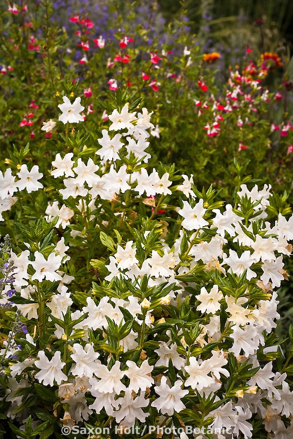 White monkey flower 'Phil's New White' (Mimulus) in garden with California native plants, Torgovitsky