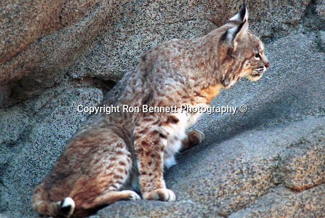 Alert, Stock, Bobcat, hunt, bobcat hunts, Lynx, felidae, predator, whiskered face, black tufted ears, brown coat, Animal, wild animals, domestic animals,  Fine Art Photography, Ronald T. Bennett (c), cat, disambiguation, felis catus, hunt vermin, growling, hissing, puring, chirping, clicking, Felis silvestris lybica, felidae, felinae, felis,