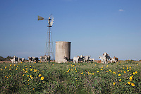 Wind mill and cattle, Sinton, Corpus Christi, Coastal Bend, Texas, USA