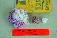 coral tumors, sp?, French Frigate Shoals, Papahanaumokuakea Marine National Monument, Northwestern Hawaiian Islands, Hawaii, USA, Pacific Ocean