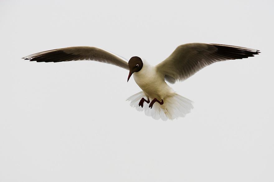 Black-headed gull (Larus ridibundus) in flight, Camargue, France