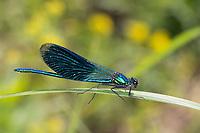 Gebänderte Prachtlibelle, Prachtlibelle, Pracht-Libelle, Männchen, Calopteryx splendens, Agrion splendens, banded blackwings, banded agrion, banded demoiselle, male, le caloptéryx éclatant, le caloptéryx splendide