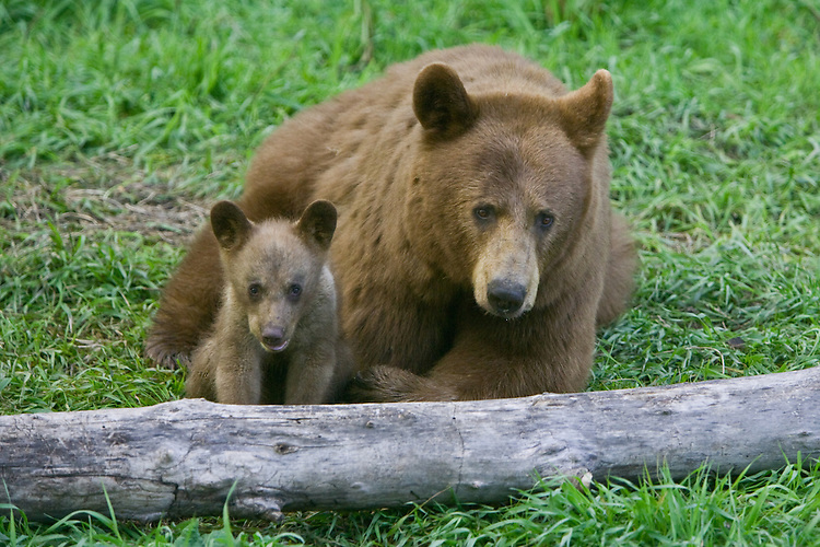 Cinnamon Black Bear mother with a cub