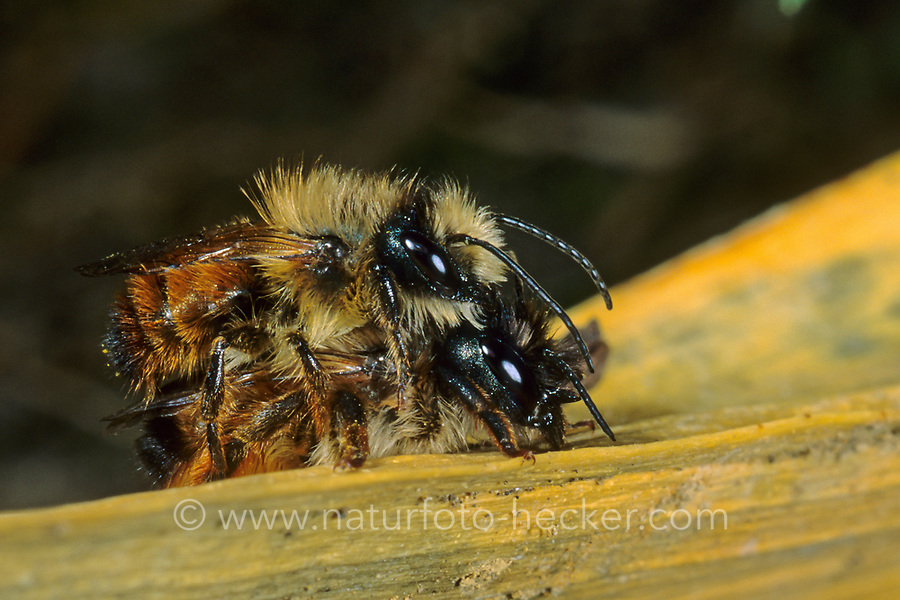 Rote Mauerbiene, Paarung, Kopulation, Kopula, Rostrote Mauerbiene, Mauerbiene, Mauer-Biene, Osmia bicornis, Osmia rufa, red mason bee, mason bee, pairing, L'osmie rousse, Mauerbienen, mason bees
