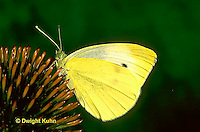 BW01-017a  Cabbage White Butterfly adult - Pieris rapae.
