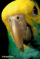 PA01-046z  Yellow-headed Amazon Parrot - close-up of beak - Amazona ochrocephala