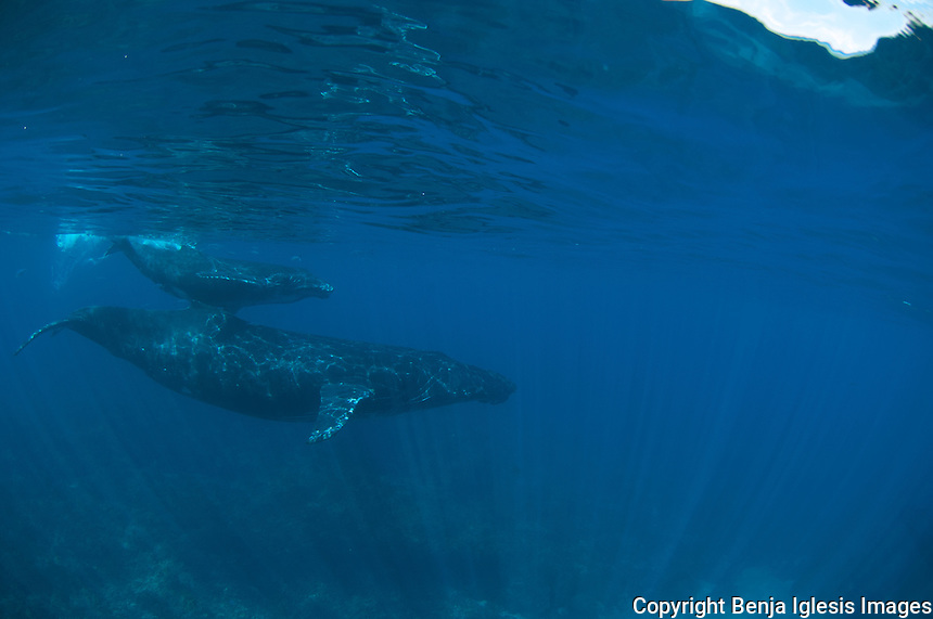 Humpbach whale with her calf,Lanai,Maui
