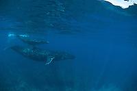 Humpbach whale with her calf,Lanai,Maui